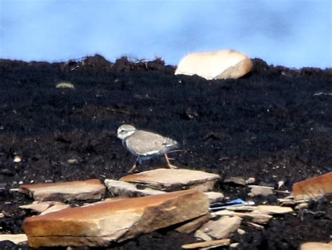 WEST YORKSHIRE BIRDING: A momentous day for the Ringed
