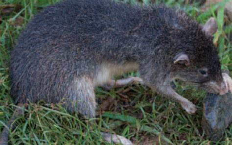 New giant species of rat discovered