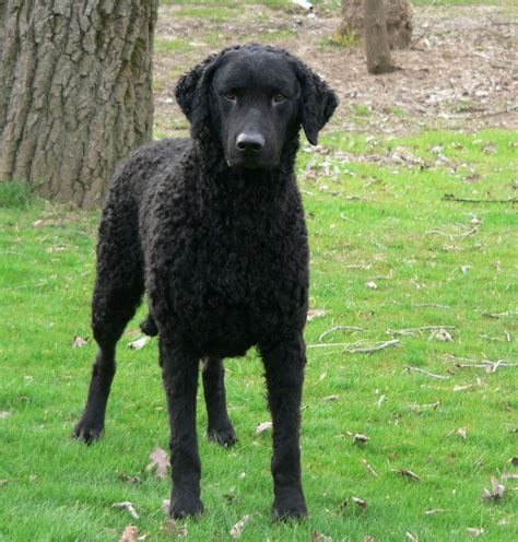 Cute Curly Coated Retriever dog photo and wallpaper