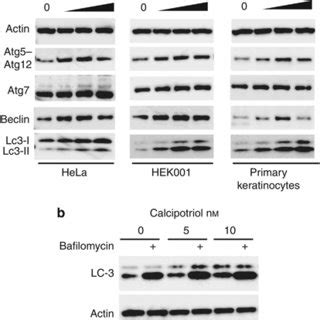 (PDF) Calcipotriol Induces Autophagy in HeLa Cells and